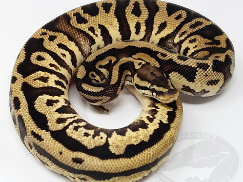 Pastel Leopard pos. Yellow Belly