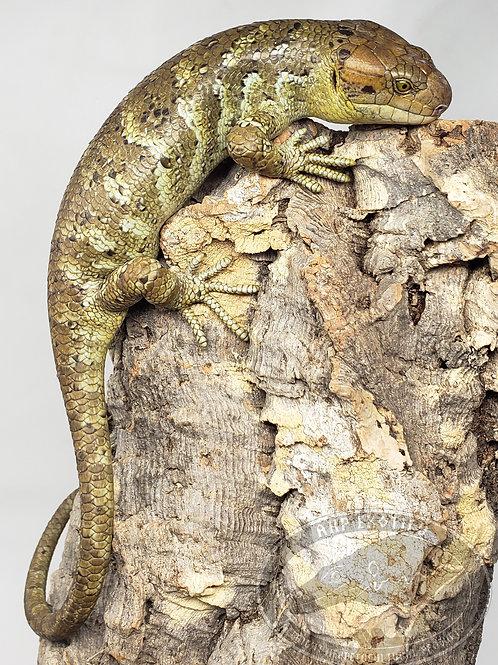Monkey Tailed Skink