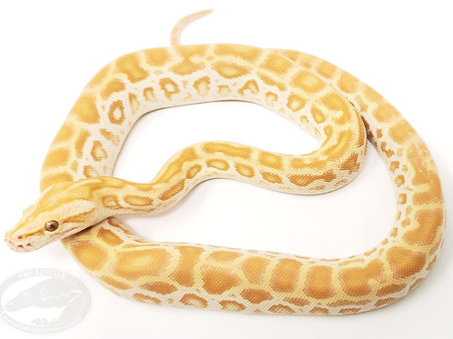 Pearl Burmese Python (het granite)