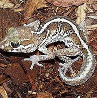 da-gecko-madagascar-pictus__32532.143525