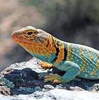 collared-lizard-adult_edited.jpg