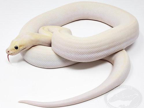 Ivory Granite Burmese Python (pos green, pos het albino)
