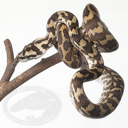 IJ x Caramel Coastal Carpet Python