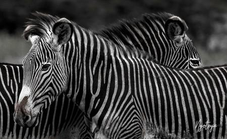 Zebrass.jpg