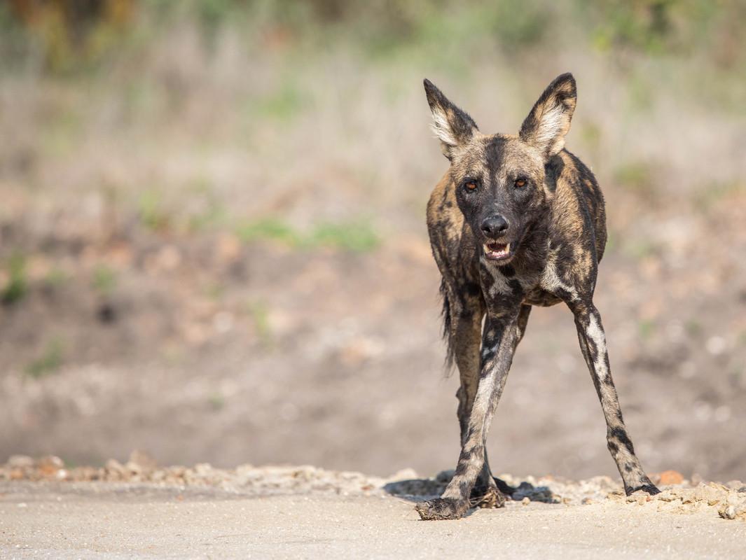 Wilddog-3.jpg
