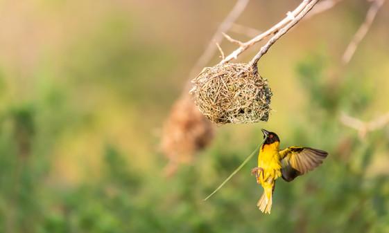 Golden Weaver.jpg