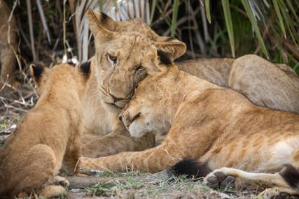 Lion-8.jpg