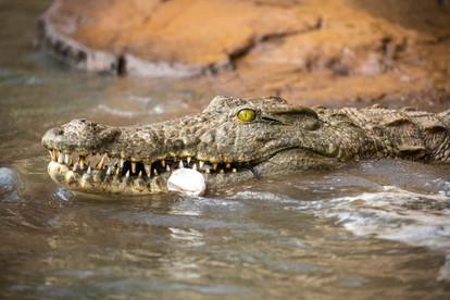 Croc-3.jpg