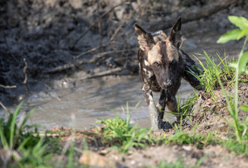 Wilddog-2.jpg