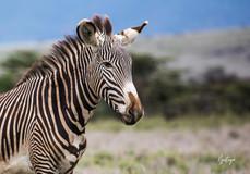Grevyz Zebra 1.jpg