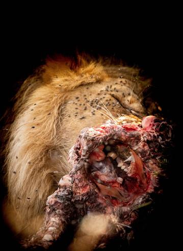 Lion feeding.jpg