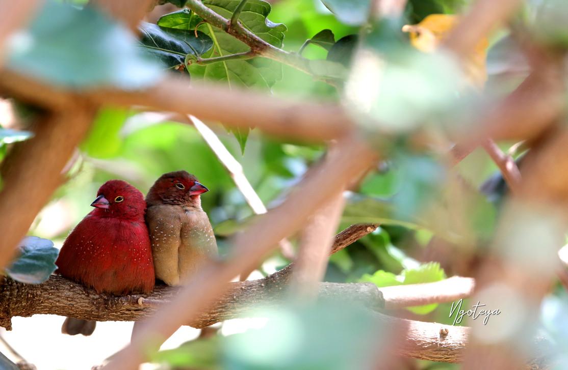 Red billled s.jpg