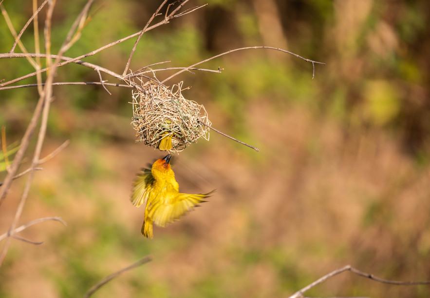 Golden Weaver-3.jpg