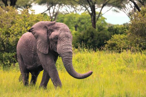 African Elephant - Tusk less.jpg