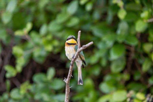 Bee Eater-4.jpg