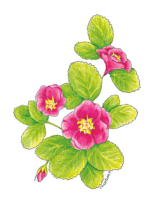 Cali Wild Rose