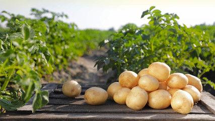Pommes de terre grenaille Noirmoutier LA