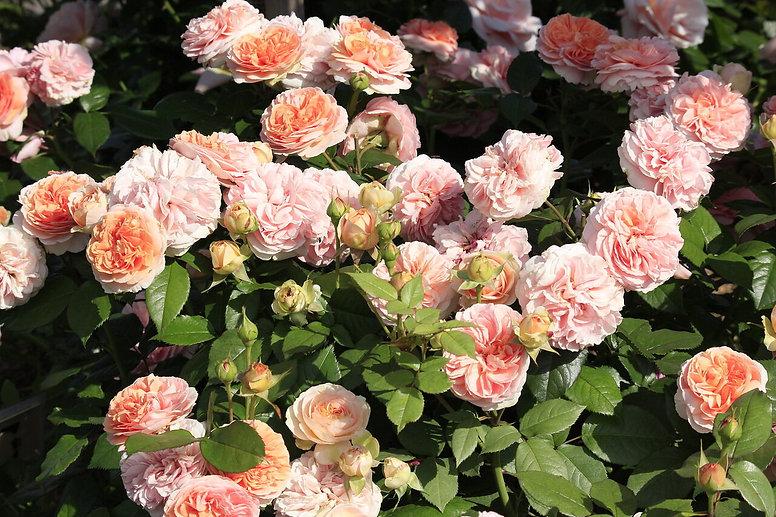 Роза кустарниковая Чиппендейл (Chippenda