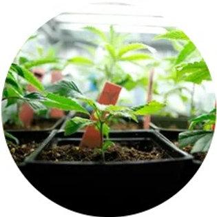 Cannabis Custom Built Indoor Grow Room