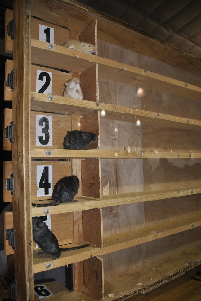 Mice wait at the starting gate for the race to begin.