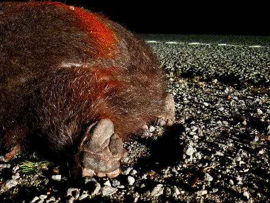 Wombat, March 2020