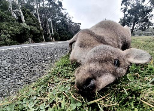 Kangaroo, June 2020