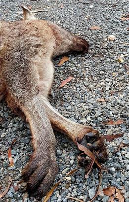 Kangaroo, May 2020