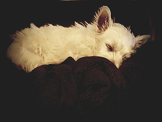 Munchkin puppy asleep