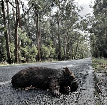 Wombat, April 2020