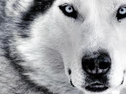 husky focus