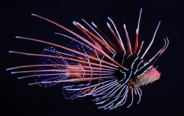 263-Pterois.png