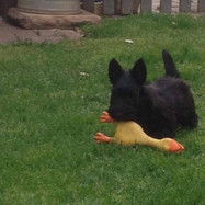 Dyson attacking his duck
