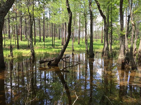 Eastern spadefoot pond (Sandhills, NC).j