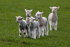 lamb7.jpg