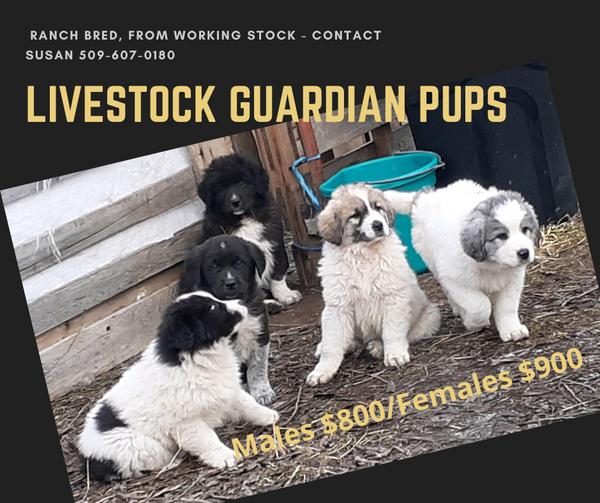 Livestock guardian puppies_Jan2021.png