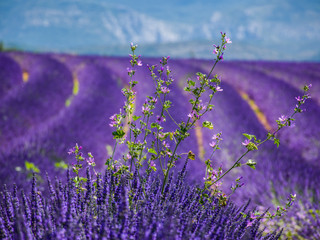 8. Visit a lavender field.jpg