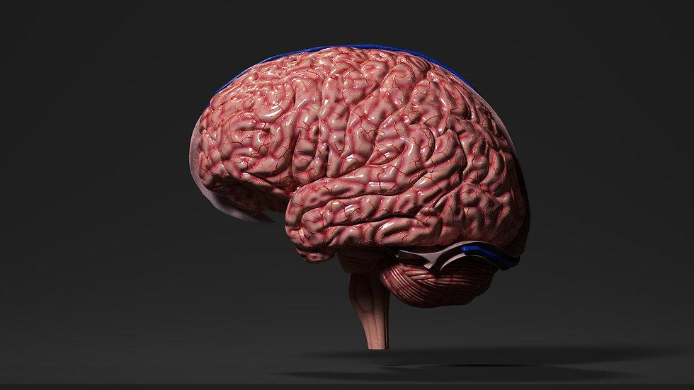 Human Brain PBR
