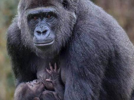 【世界初類人猿ゴリラが新型コロナに感染】