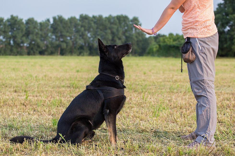 Black German Shepherd training (Sit comm