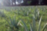 AloeVera plantacja03.jpg