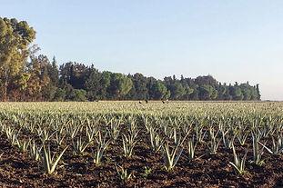 AloeVera plantacja02.jpg