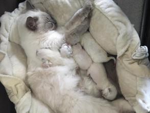 Donna is bevallen vier prachtige kittens