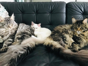 Barry White & 2 Maine Coons