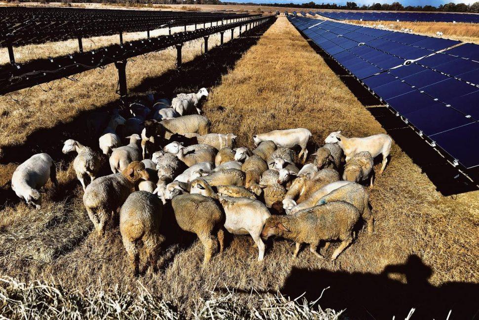 Sheep and Solar.jpg