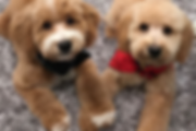 Goldendoodls and Labradoodle Breeders