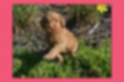 Goldendoodls and Labradoodle Breeders