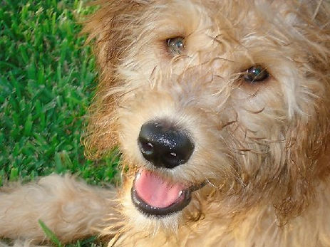 Labradoodles and Goldendoodle Breeders