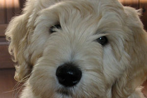 Best places to buy a Goldendoodle Labradoodle
