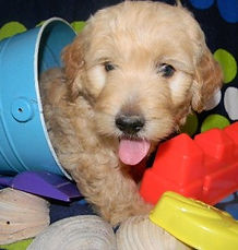 Goldendoodls and Labradoodle BreedersBreeders by State