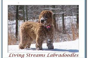 Montana Goldendoodles And Labradoodles